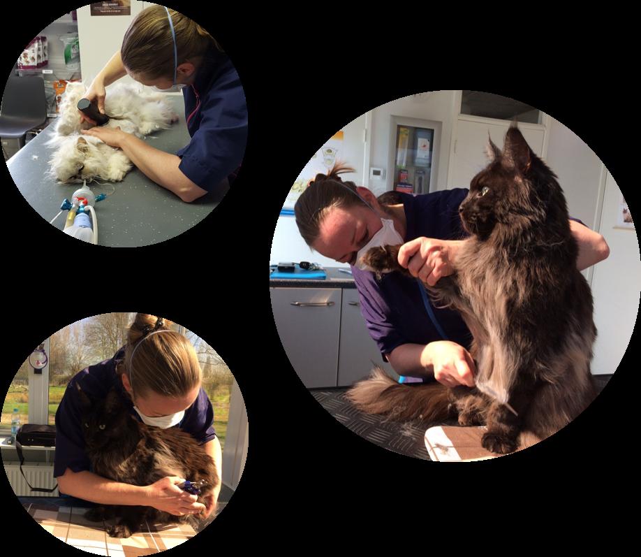 kattentrimsalon care for coat, cuijk, boxmeer, dierenartsassistente, wijchen, nijmegen, aan huis