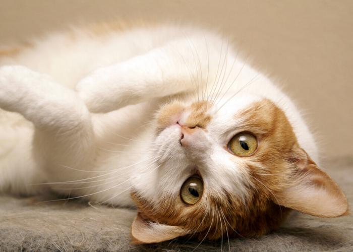Kattentrimster cuijk nijmegen vacht kat trimsalon 8